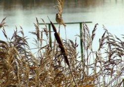 Reed bunting (female)....emberiza schoeniclus