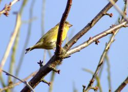Greenfinch (male)....carduelis chloris Wallpaper