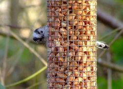 Long-tailed tit....aegithalos caudatus Wallpaper