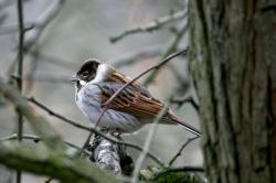 Reed Bunting Male.