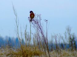 Male stonechat....saxicola torquata Wallpaper