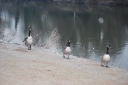 No - it wasn't three Canada geese - it was three French hens!
