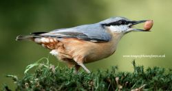 Nuthatch with peanut - New Forest UK