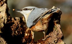 Nuthatch hunting for food