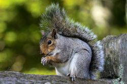 Grey Squirrel taking a snack.