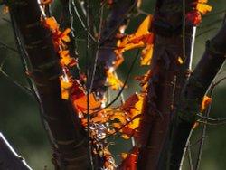 Peeling Silver Birch bark, Elsfield, near Oxford