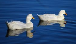 White ducks at Netherton Reservoir