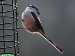 Long tailed tit at Woodchester Park