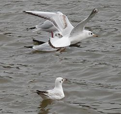 Gull in a hover