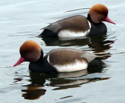 Red Crested Pochards in symetry