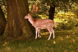 Bradgate Deer.