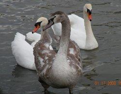 Immature Swan