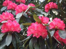 Rhododendrons in full bloom Fell Foot park