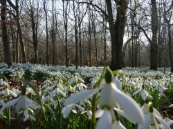 Thousands of Snowdrops
