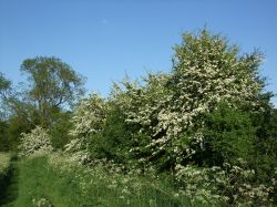Hawthorn hedges along the green lane