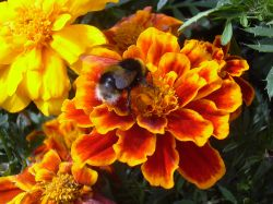 Bee on French Marigold
