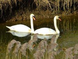 Mute swans....cygnus olor