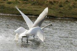 Mute Swan?