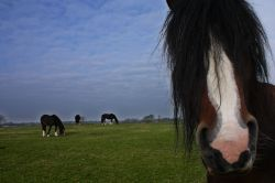 Young Shire Horses