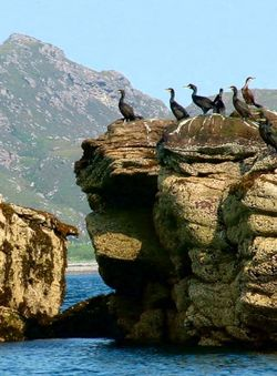 Shags on rock, North cliffs of Isle Martin