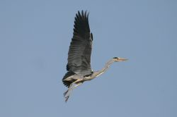 Heron flying over my garden.