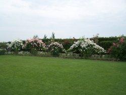 Roses at Hyde Hall