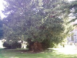 Second oldest tree in England