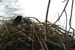 Nesting Morehen