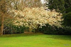 White Cherry in Sheringham Park Norfolk.