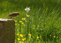 Robin on a gravestone, St Mary's Church, Ludgershall, Bucks