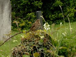 Song Thrush on a gravestone in Old Town Church graveyard.