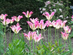 Tulips at Hyde Hall