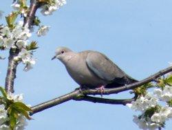 Dove at Eastcote village