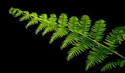 Single fern frond, Bernwood Forest, Botolph Claydon, Bucks