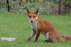 Fox in the Garden 6