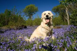 Chester in the bluebells