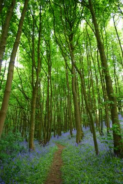 Walking through the bluebell woods