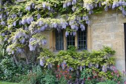 This year's Wisteria-bloom in Chipping Campden