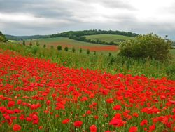 Poppy fields at Luddesdown