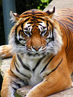 Tiger at Thrigby Hall