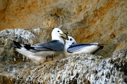 Kittiwakes. An adult Kittiwake returns to the nest with food for its chick.