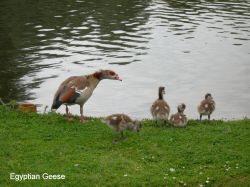 Egyptian Goose and Babies