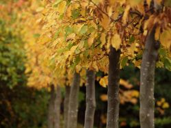 Row of ornamental trees, Aynho, Northants.