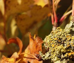 Lichen on a thorn bush, Aynho, Northants.