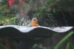 A Robin Bathing