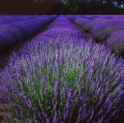 Norfolk Lavender fields at dusk