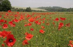 Poppies near Eynsford village, Kent