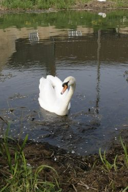 Swan on the River Welland