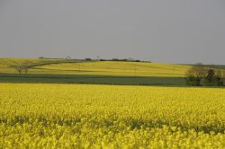 Yellow landscape of rape