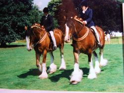 Display of Shire horses